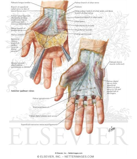 palmar hand muscle anatomy diagram 2006 dodge ram 1500 factory radio wiring skin and subcutaneous fascia of the wrist hand: superficial dissection