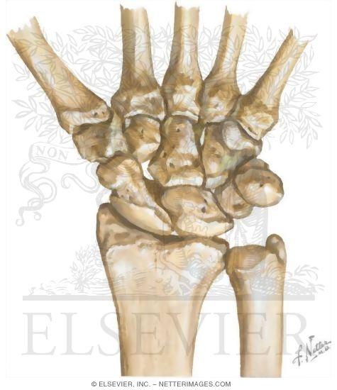 wrist and hand unlabeled diagram rf tx rx circuit palm up labeled toyskids co carpal bones right tib fib