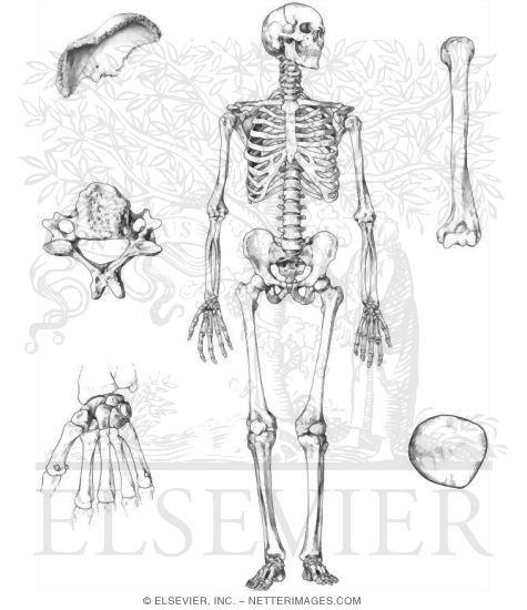 Skeleton and Shapes of Bones