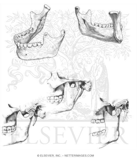 Mandible and Temporomandibular Joint