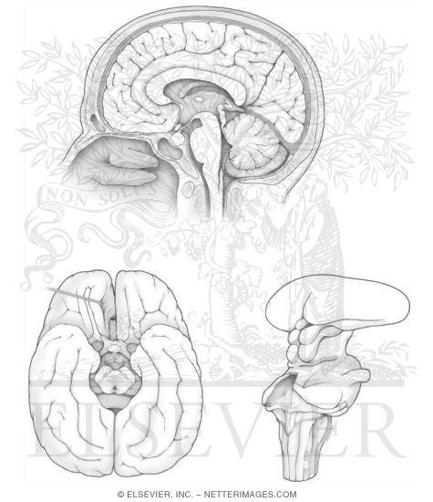 Midsagittal and Bassal Brain Anatomy