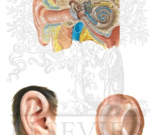 General Anatomy of the Right Ear