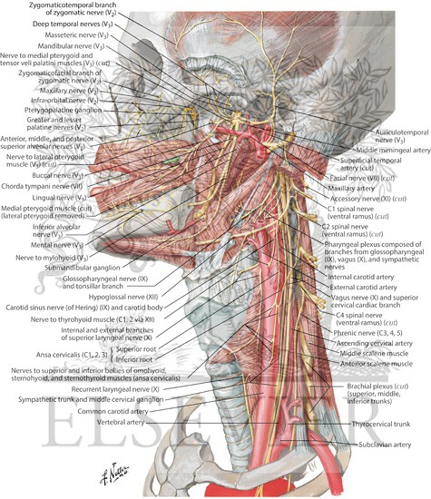 Human Head And Neck Muscles Diagram Welcome To Netter Images