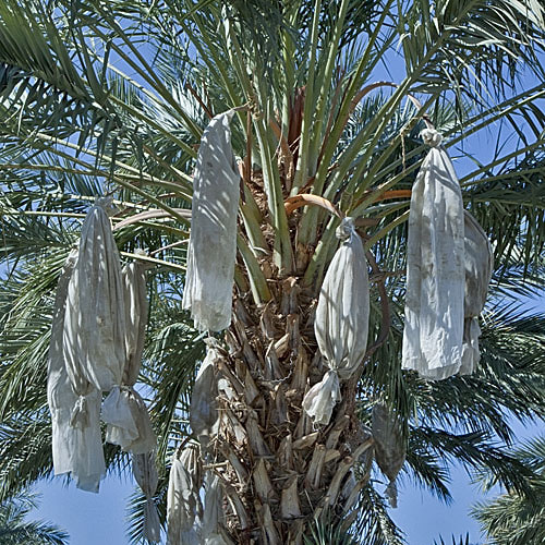 Coachella Valley  - Dates Ready for Harvest