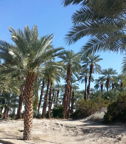 Shield's Date Palms