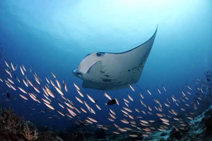 Reef_Manta_Ray_Manta_alfredi_Surface_Feeding_D_Arros_Island_Amirantes_Seychelles_-_Guy_Stevens_Manta_Trust_2016