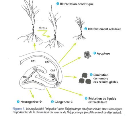 Stress et neuroplasticité