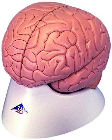 modelo anatomico cerebro