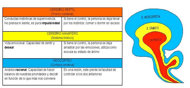 Explicación de la lucha de los tres cerebros: tronco cerebral, sistema límbico y corteza cerebral