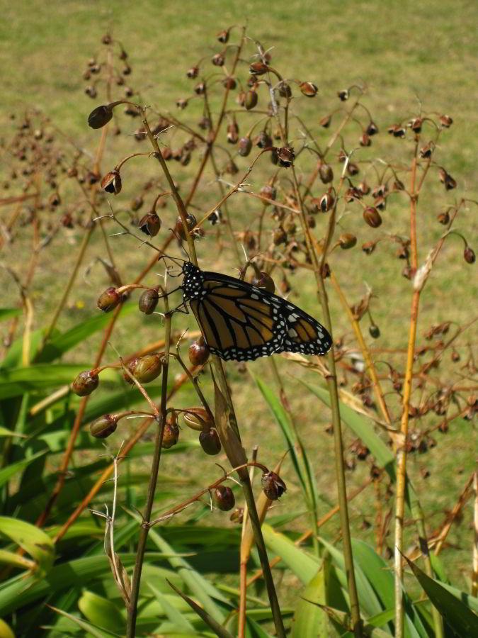 Schmetterling auf Blume in Russell