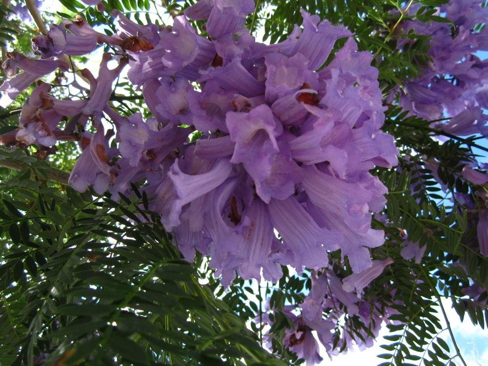 Flieder Baum in Russell