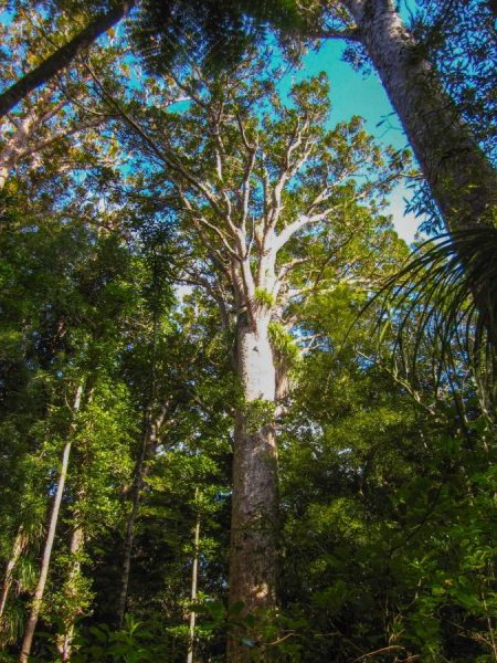Ein Kauri Tree in seiner vollen Größe