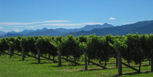 Weinreben in und um Blenheim auf Neuseeland