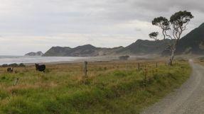 Auf dem Weg zum East Cape begleiten einen viel Kuh- und Schaf-Herden