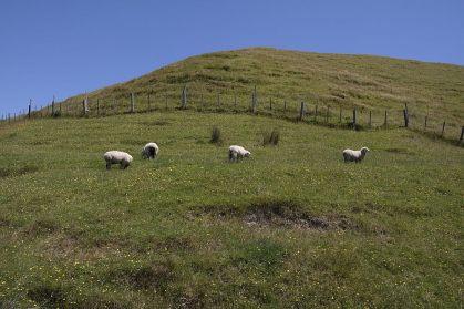 Schafe dürfen auch an der Wharaiki Beach nicht fehlen.