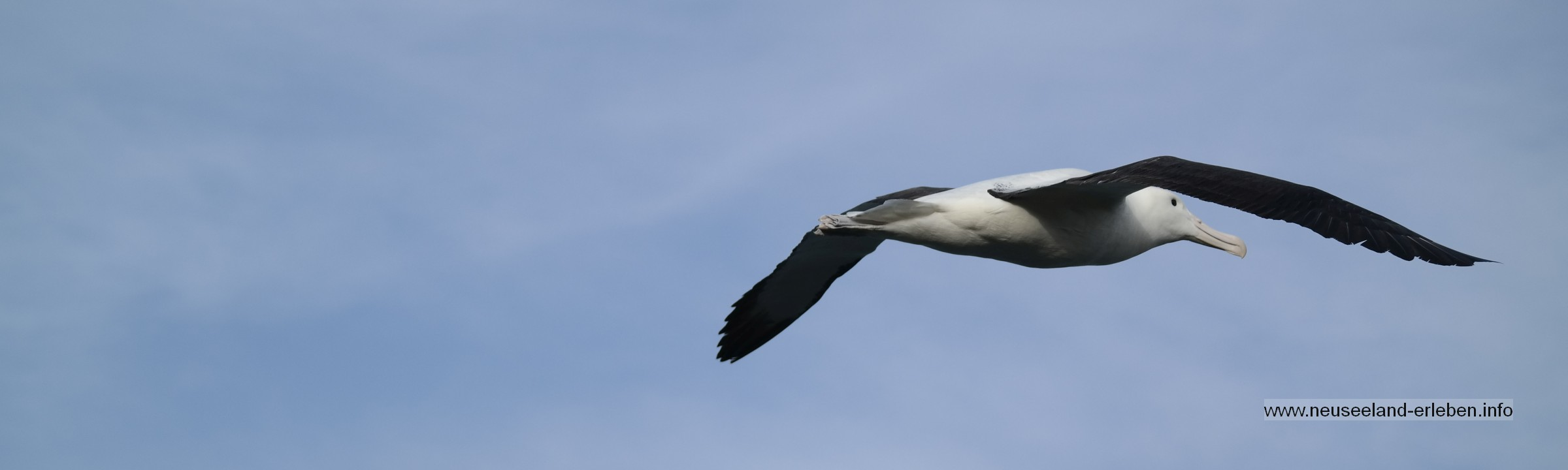 Albatros auf Neuseeland