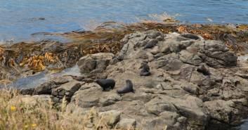 Seals-Sichtung am Kaitiki Point