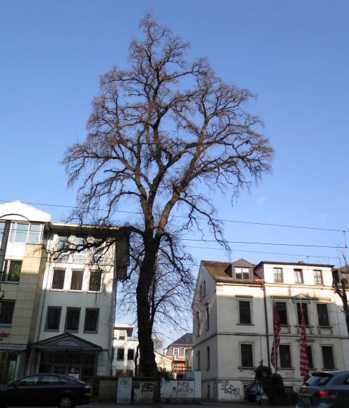 Derzeit flattert die Ulme ohne grüne Blätter.