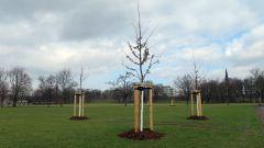 Neue Bäume für den Alaunplatz