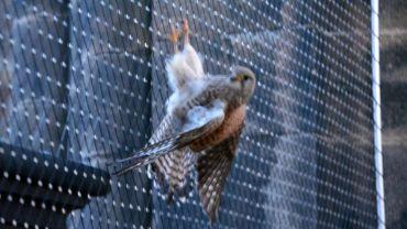 Der Falke hatte sich in der Laterne verfangen.
