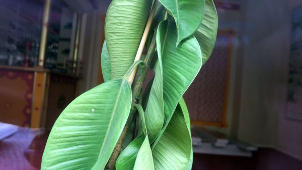 Die Grünpflanze im Schaufenster sehnt sich nach besseren Zeiten.