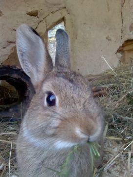 Kaninchen im Panama