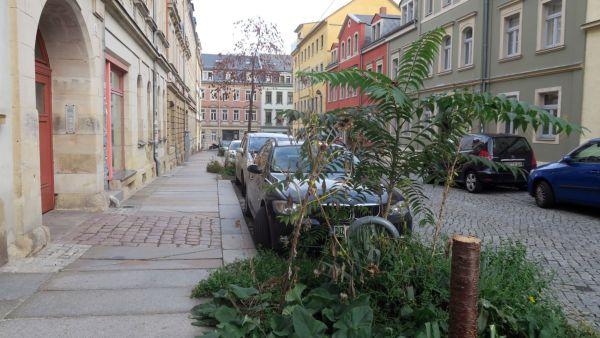 Aktuell sieht der Baumbestand in der Schönfelder Straße ziemlich traurig aus.