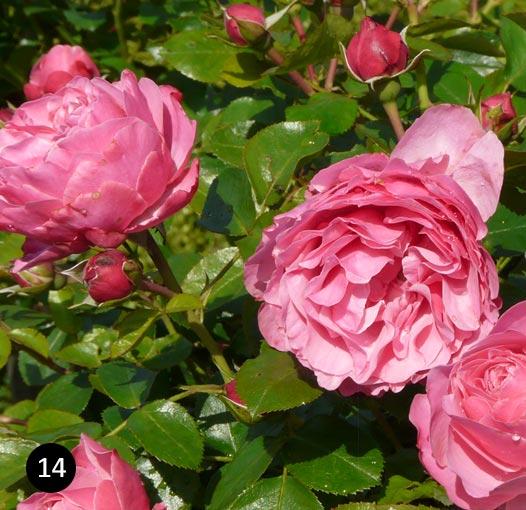Inspiratie  roze border  Neutkens Planten en bomencentrum