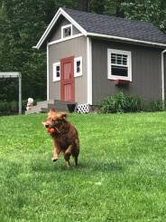 Bean with bumper running in front of shed