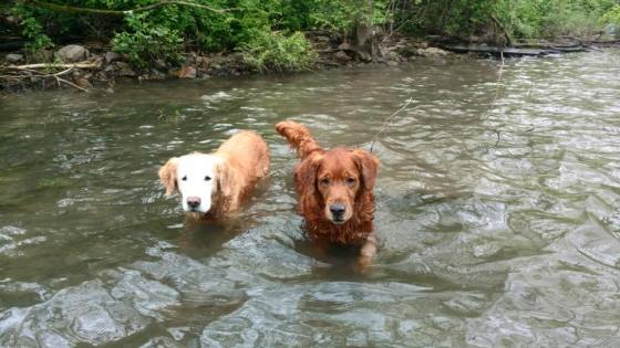 Bean & Trooper wading in stream