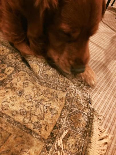 Bean inspecting Persian rug