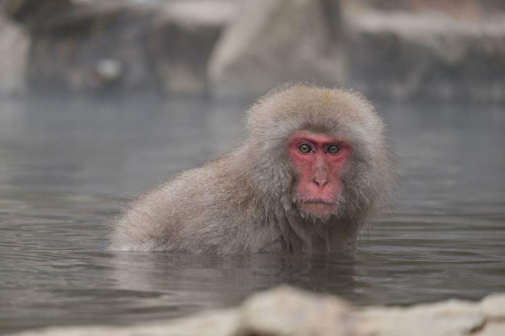 Japanese Snow Monkey 10