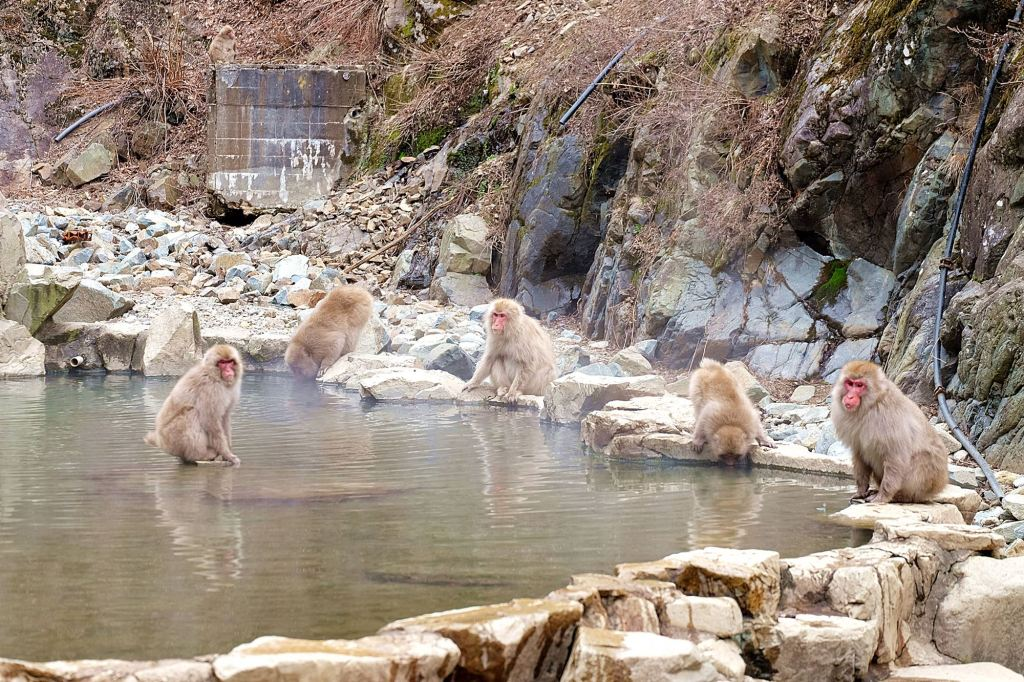 Japanese Snow Monkey 2