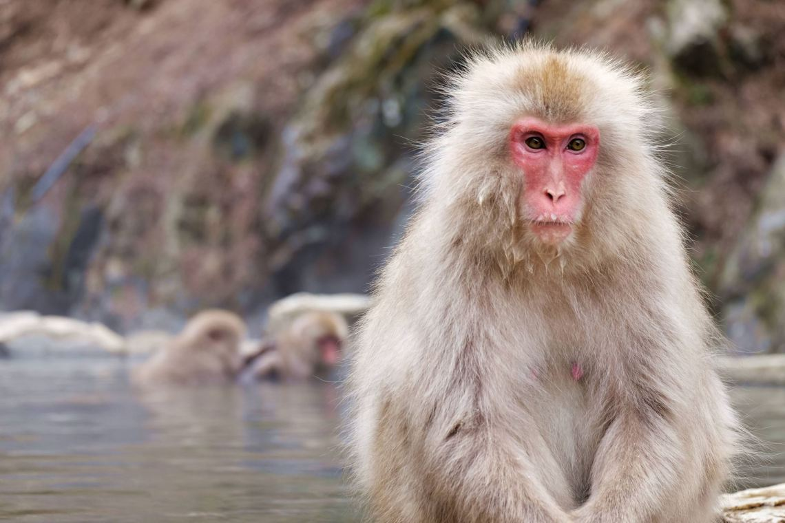 Snow Monkeys of Jigokudani, Yamanouchi, Nagano Prefecture, Japan