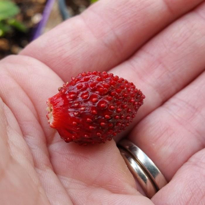 Baron Von Solemacher Strawberry Plants