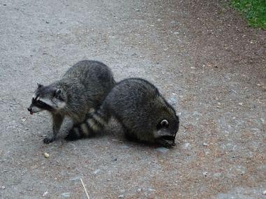 Raccoons in Stanley Park