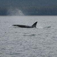 Whale Watching in Juneau – Alaska