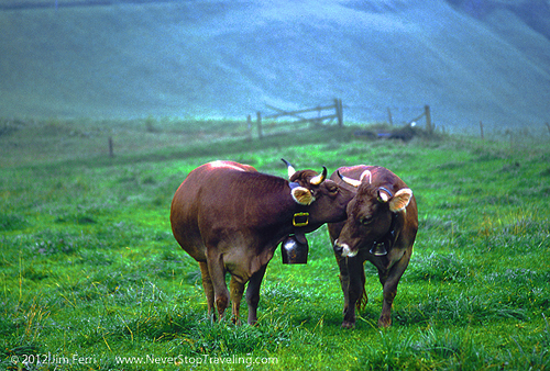 Swiss cows-A
