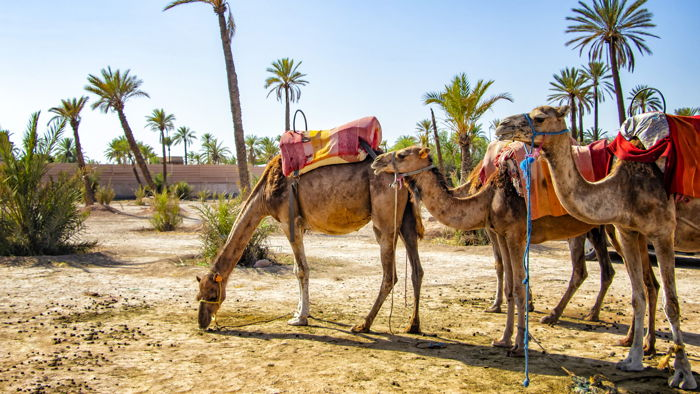 Camels - Source UNWTO