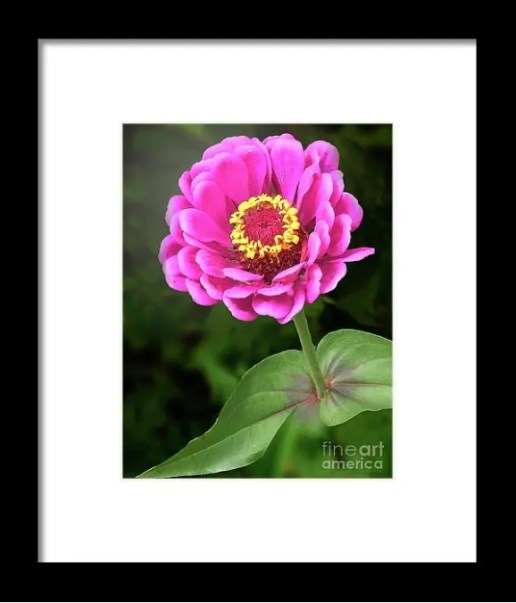 Elegant Zinnia Soft Glow Prints