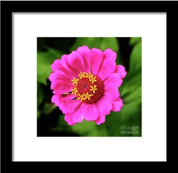 Elegant Zinnia Flower Prints - Photography by Dave Nevue