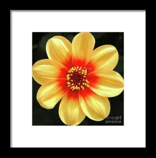 Dahilias Flower Up Close