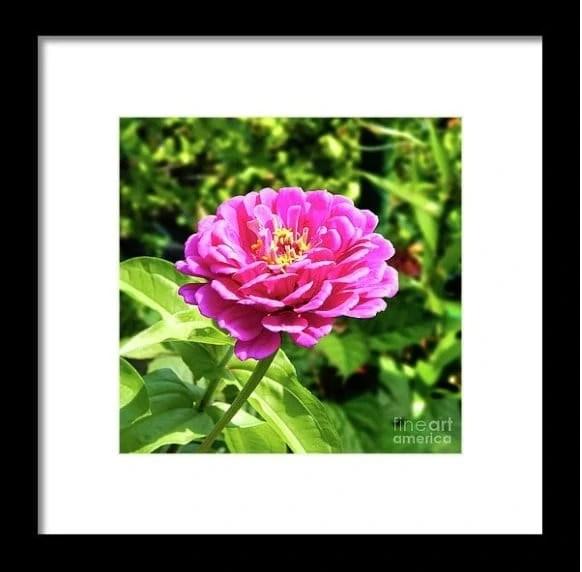 Zinnia Flower Pink Tones