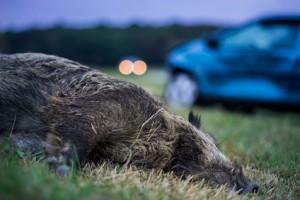 Wildunfall mit Wildschwein in der Dmmerung -  Accident with wild boar in the dawn