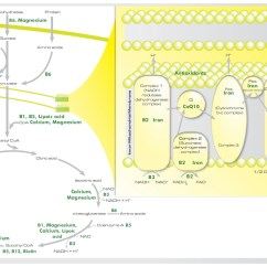 Explain Krebs Cycle With Diagram Cb350 Parts What Is The Cause Of Fatigue And Why Are You So Tired
