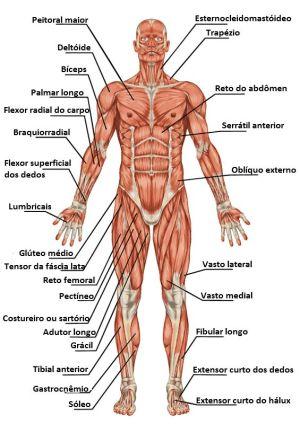 Imagens do corpo humano para ajuda no estudo  Fichas e Atividades
