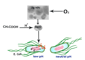 Schematic of Ag NPs/acetic acid mechanism of action against bacteria
