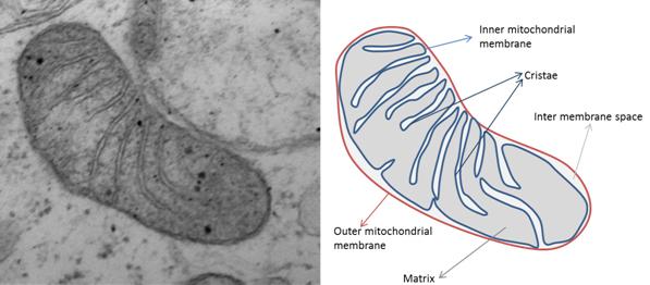 Image and diagram of Mitochondria