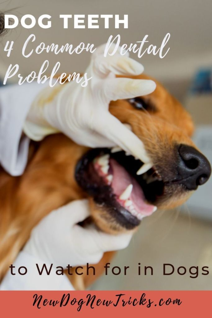 Dog Teeth - 4 Common Dental Problems to Watch for in Dogs (1)