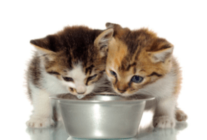 kittens, best kitten food